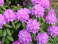 Rhododendrons, arbustes � feuillage persistant